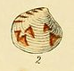 Illustrated Index of British Shells Plate 05 Fig 2 Gouldia minima.png