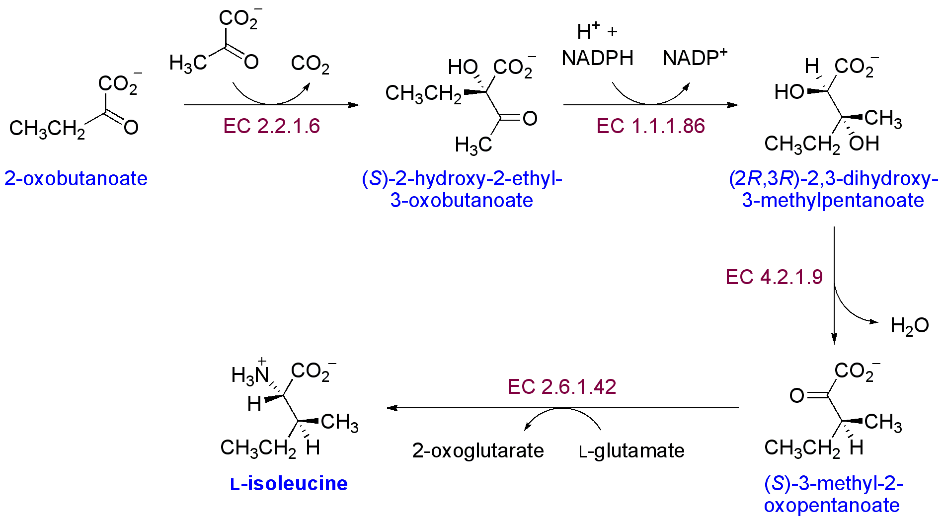 https://upload.wikimedia.org/wikipedia/commons/4/4e/Isoleucine_biosynthesis.png