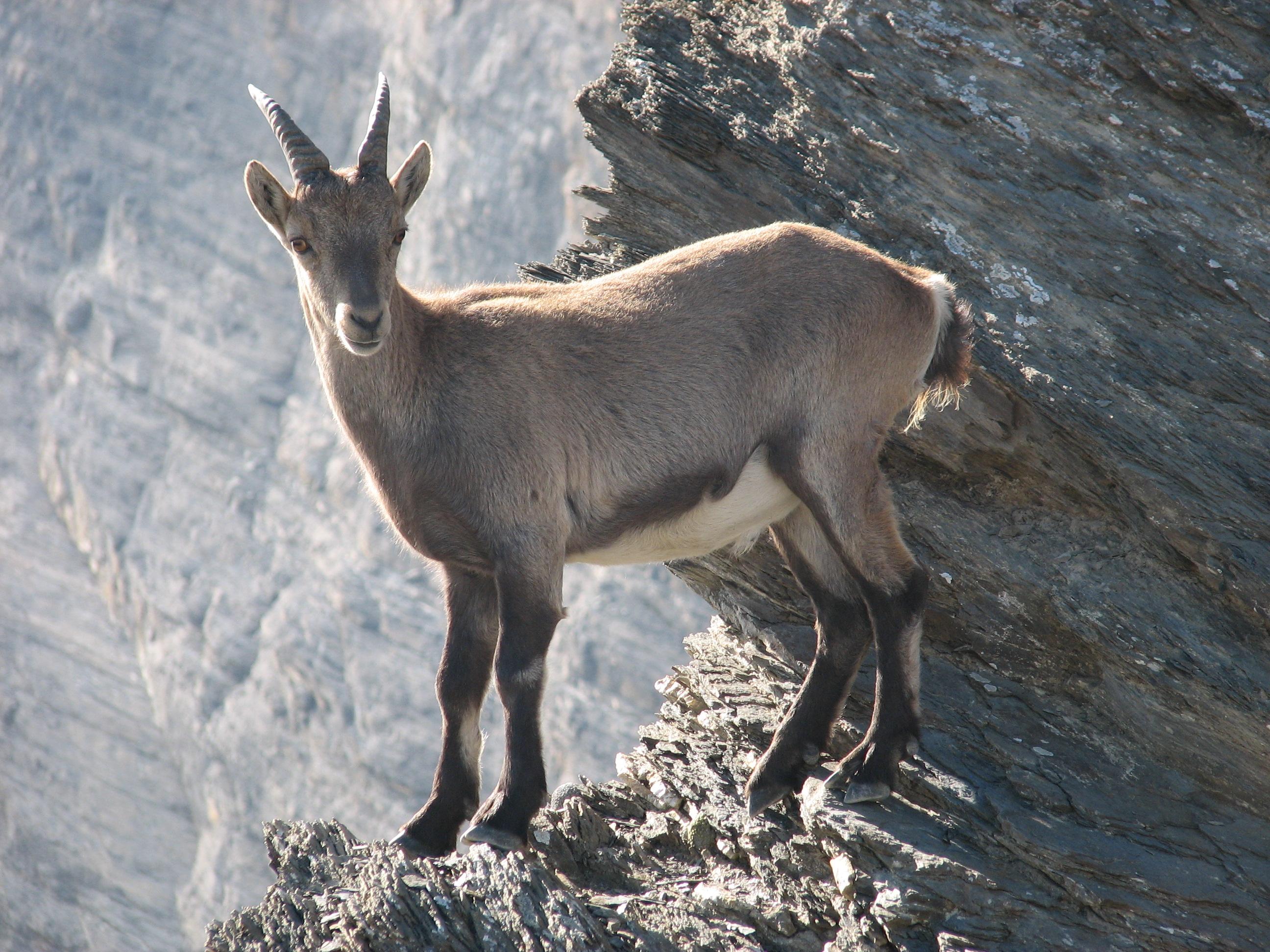 Ibex Goat Ibex/Markhor/Tu...