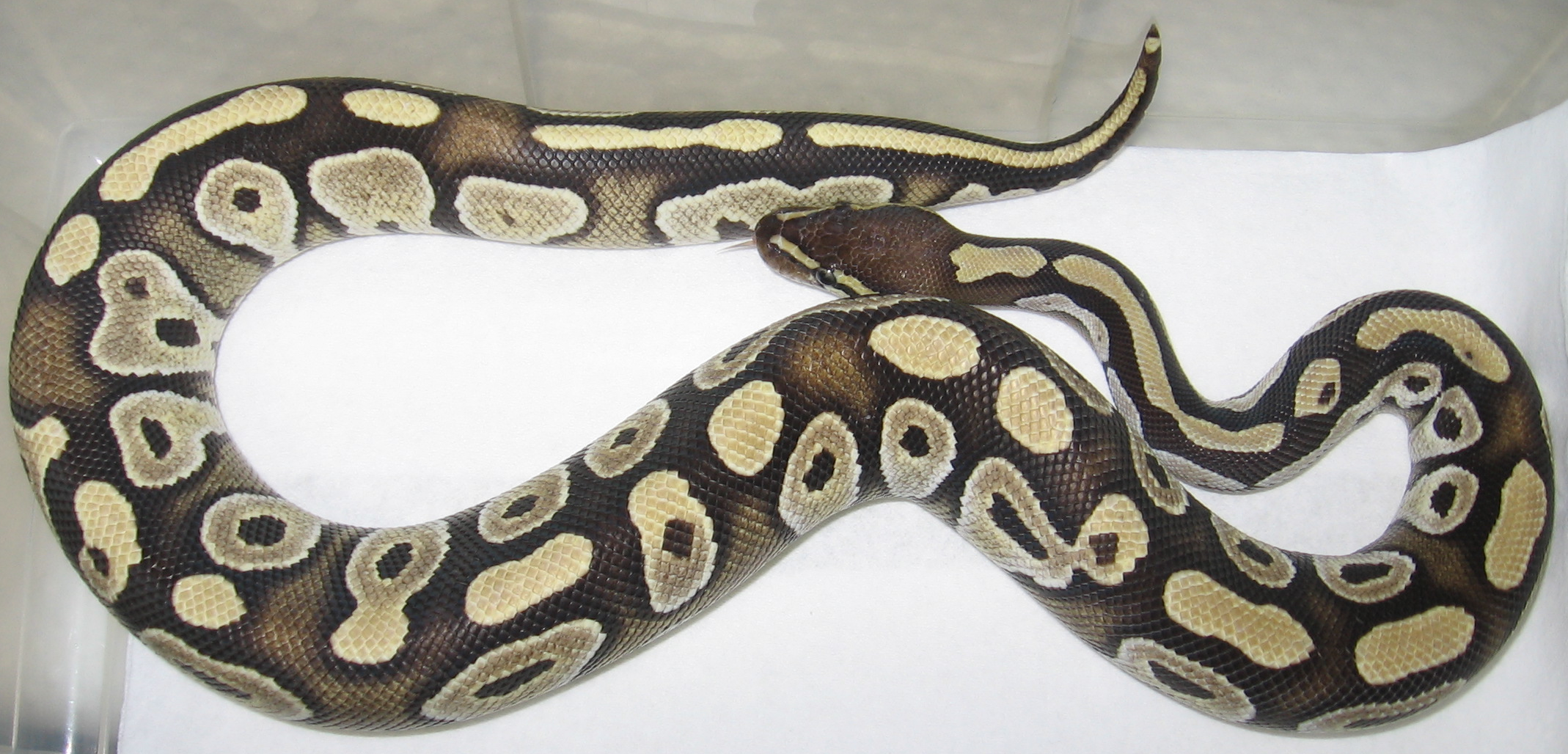 Pastel ball python full grown