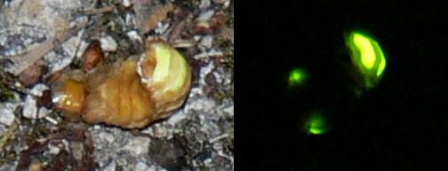 Fichier:Lampyris noctiluca luciole.jpg