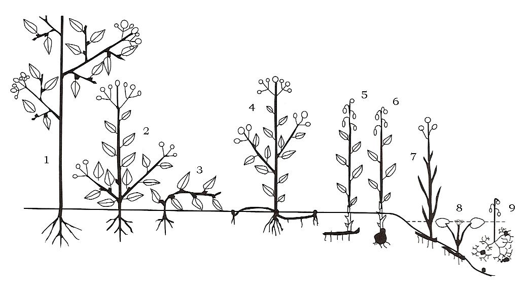 Raunkiær plant life-form - Wikipedia
