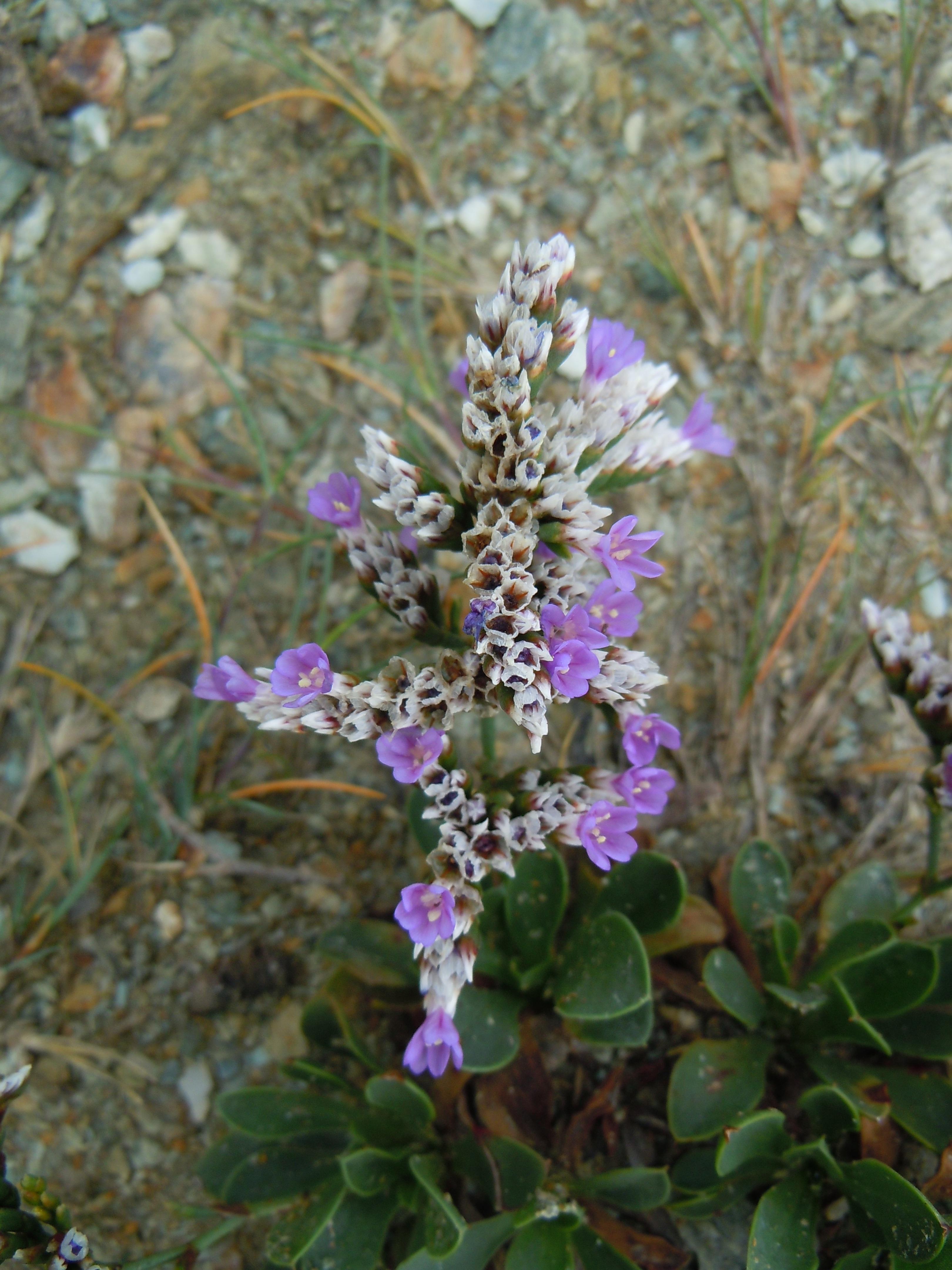 File Limonium ovalifolium flowers Wikimedia mons