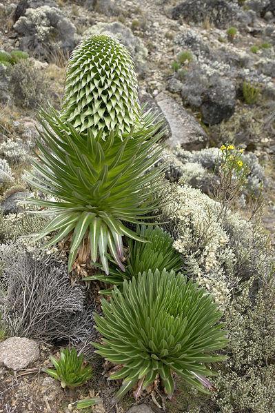 Ficheiro:Lobelia Gigante Kilimanjaro.JPG