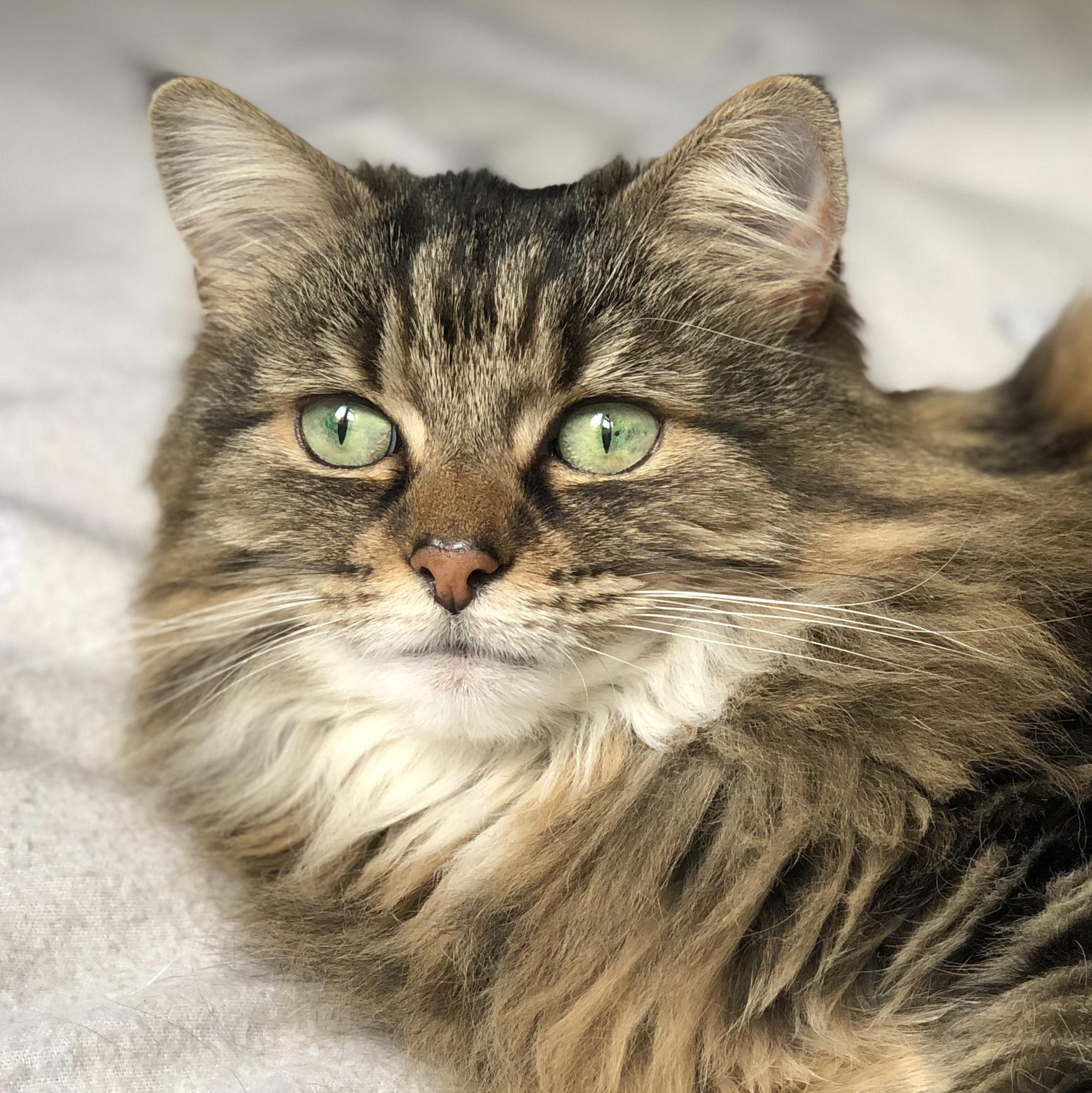 Long Haired Tabby Domestic Cat Face.jpg