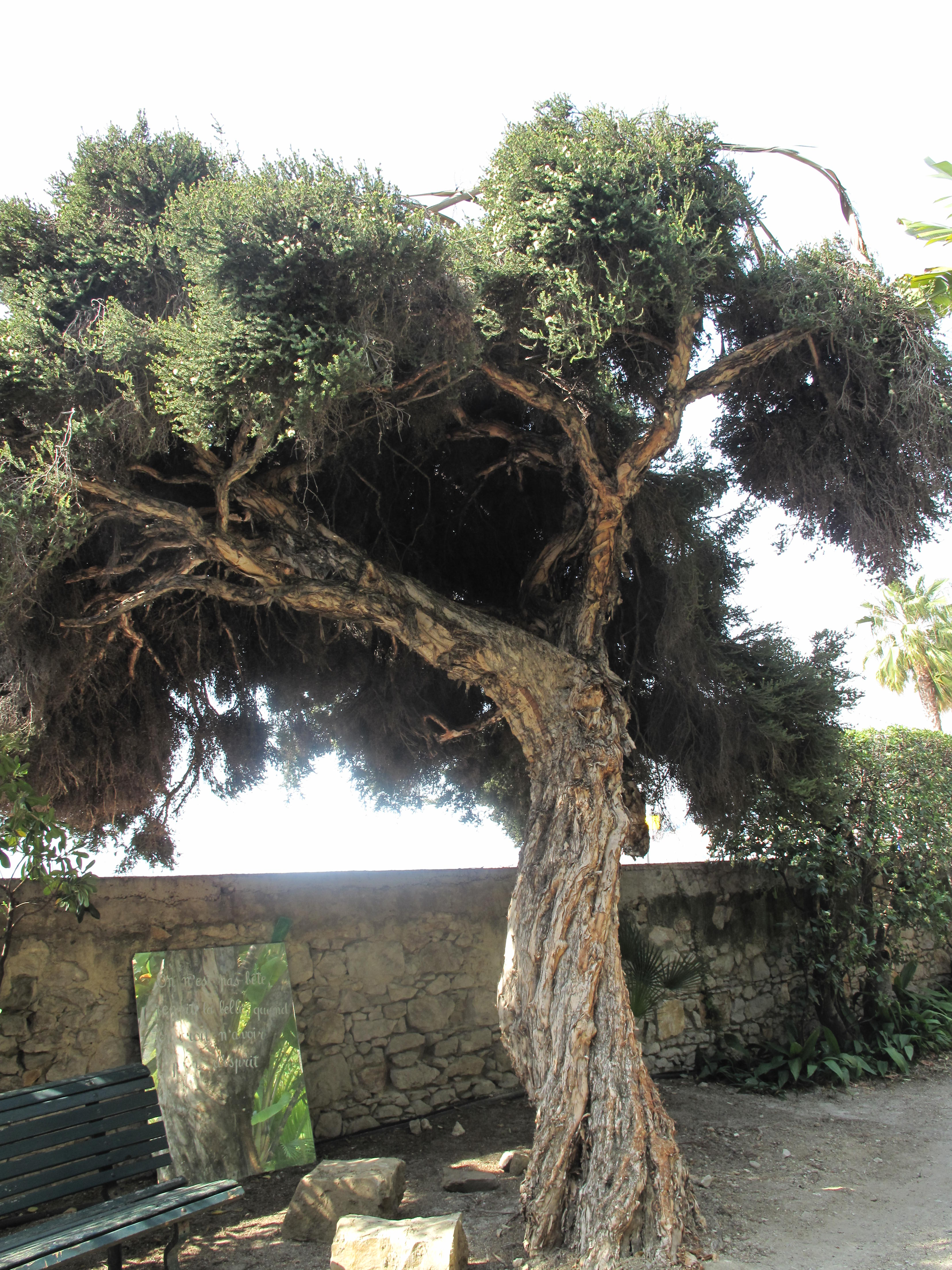Melaleuca alternifolia (Maria Serena) tree.jpg