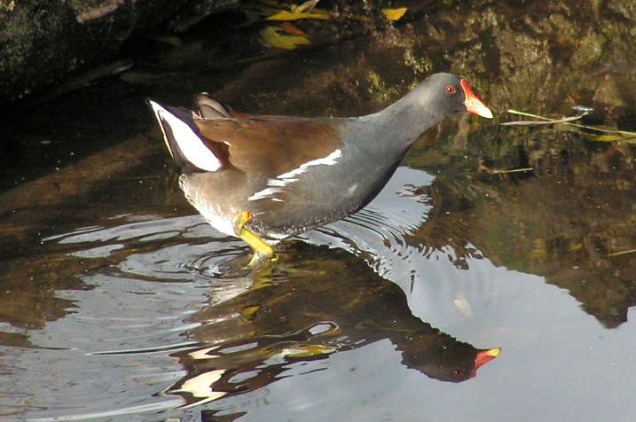 Polla d'aigua (Gallinula chloropus), near The Hague, Netherlands