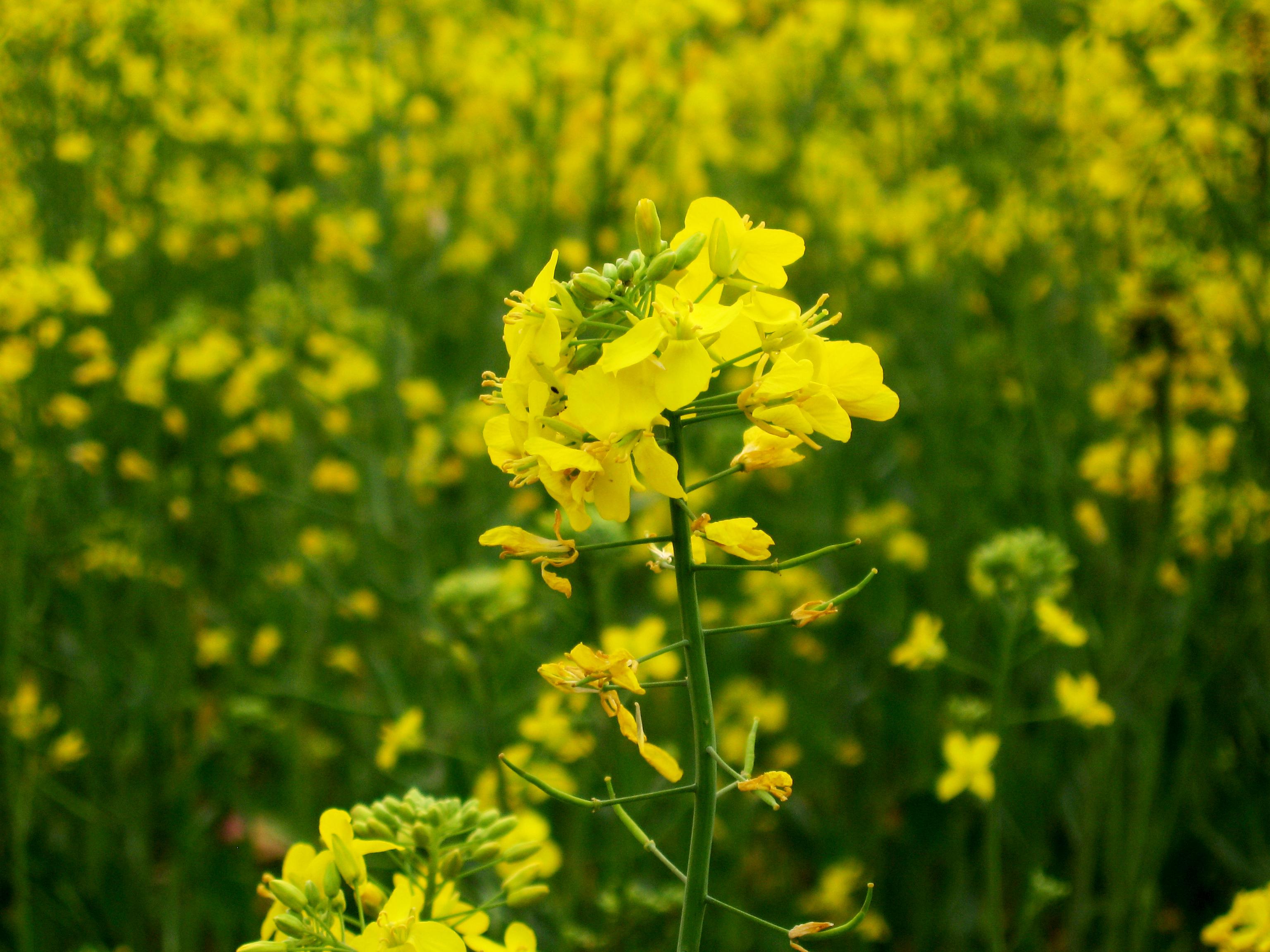 Mustard plant; Brassica juncea; Mustard