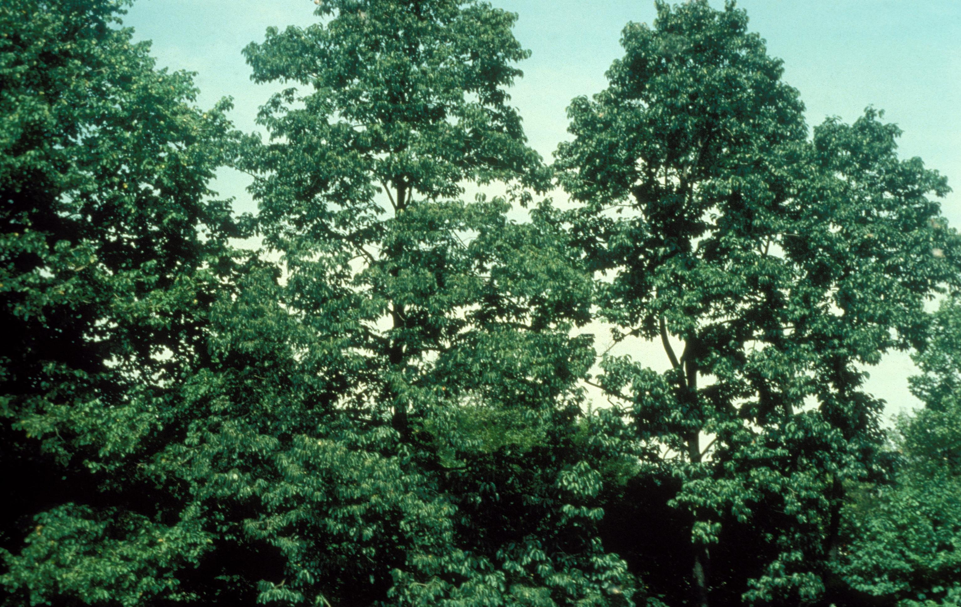 The Black Gum tree is the perfect all-season tree.