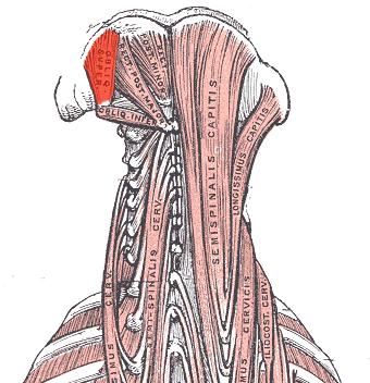 File:Obliquus capitis superior.png - Wikimedia Commons Obliquus Capitis Inferior