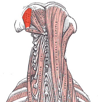 HUMAN MUSCULAR SYSTEM: Obliquus Capitis Superior Muscle Obliquus Capitis Inferior