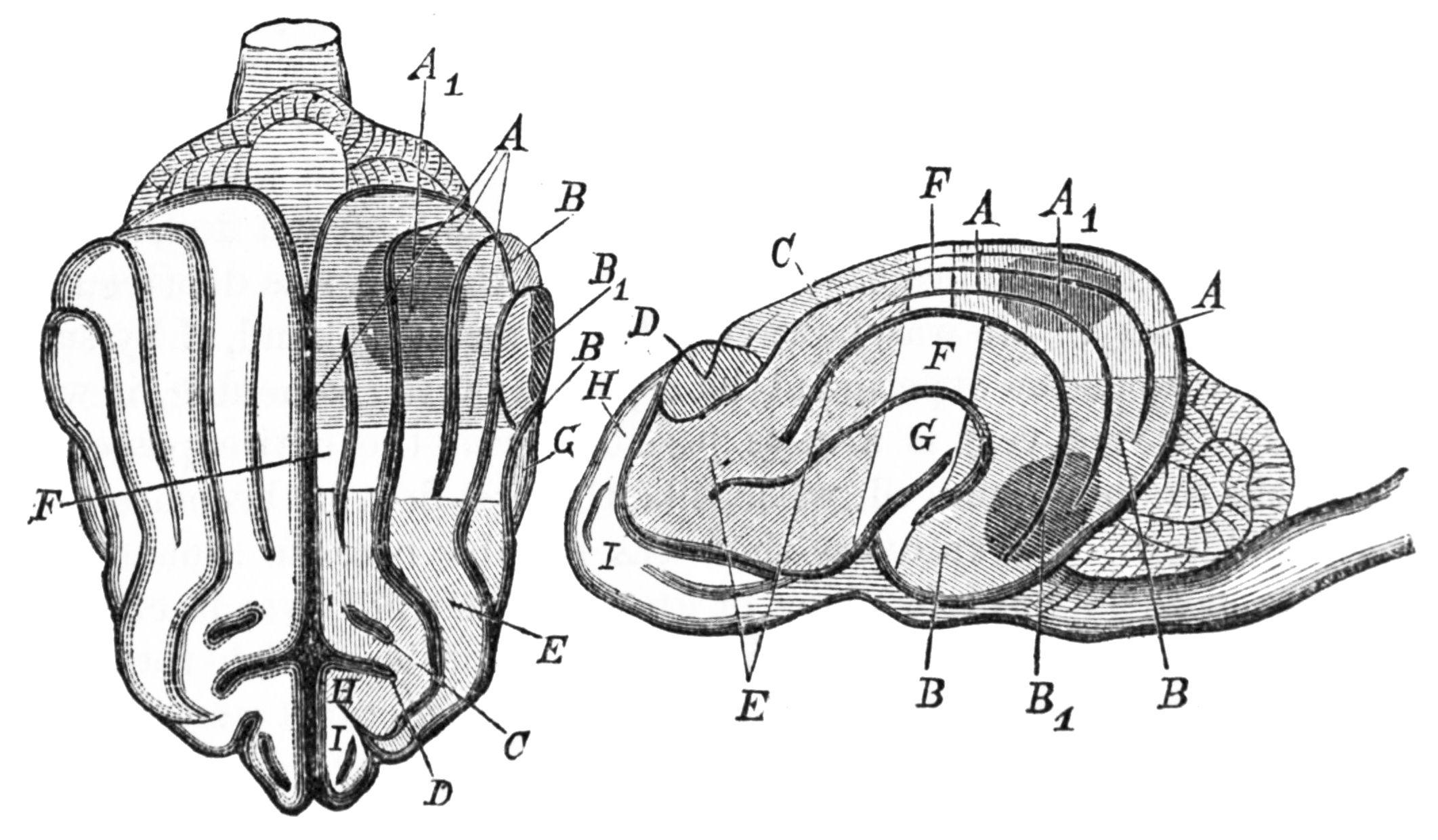 Description psm v25 d628 brain of a dog and diagram of munk