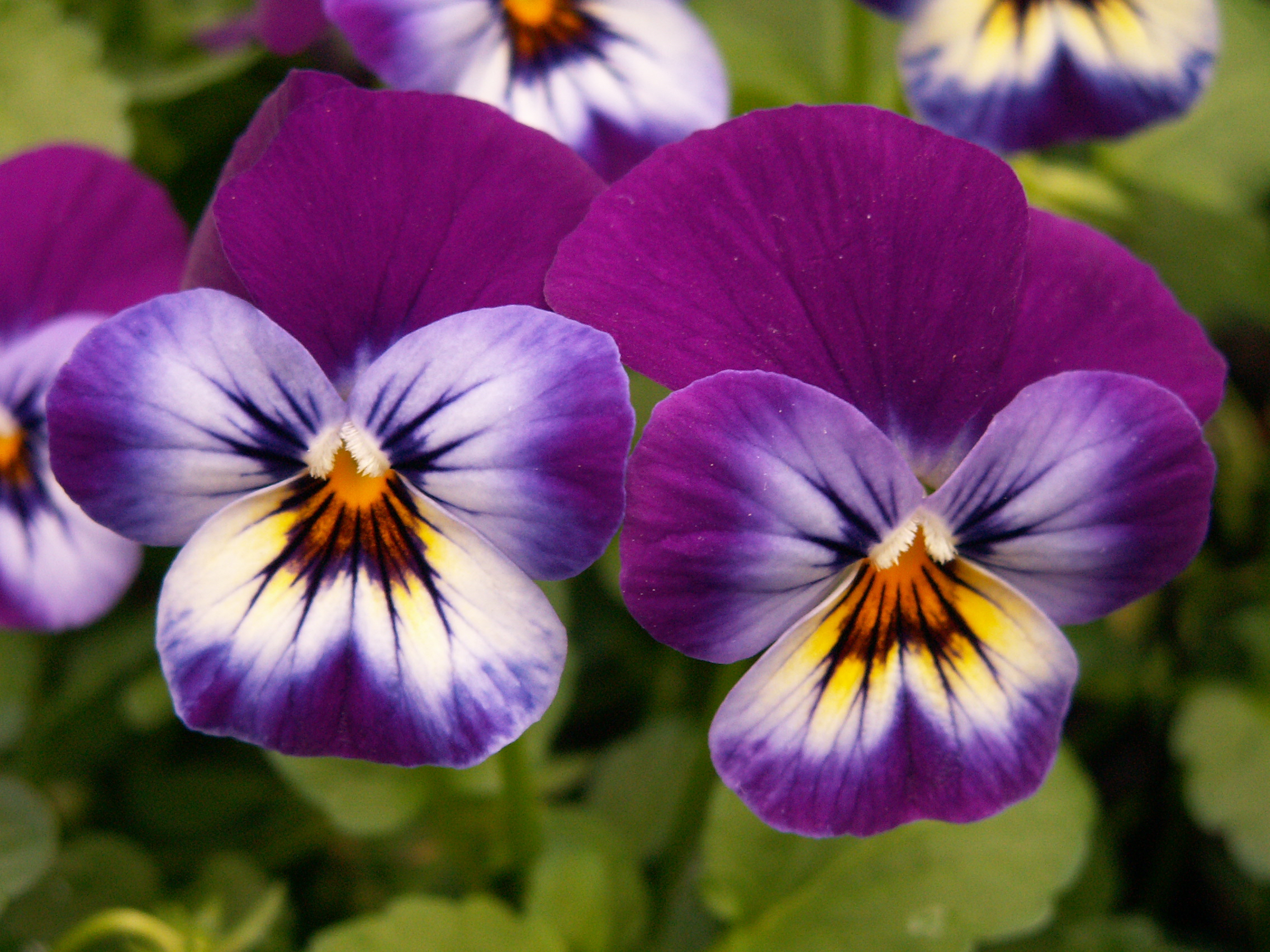 Pansies At The Spring Flower Show Phipps Conservatory Father Pitt