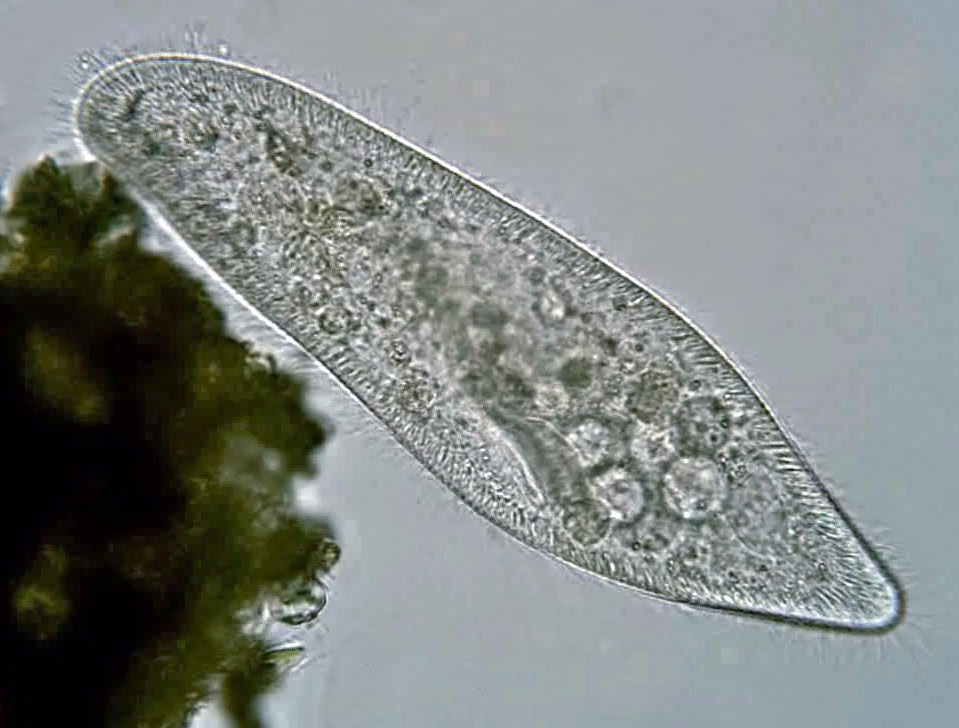 Describe asexual reproduction in paramecium bursaria