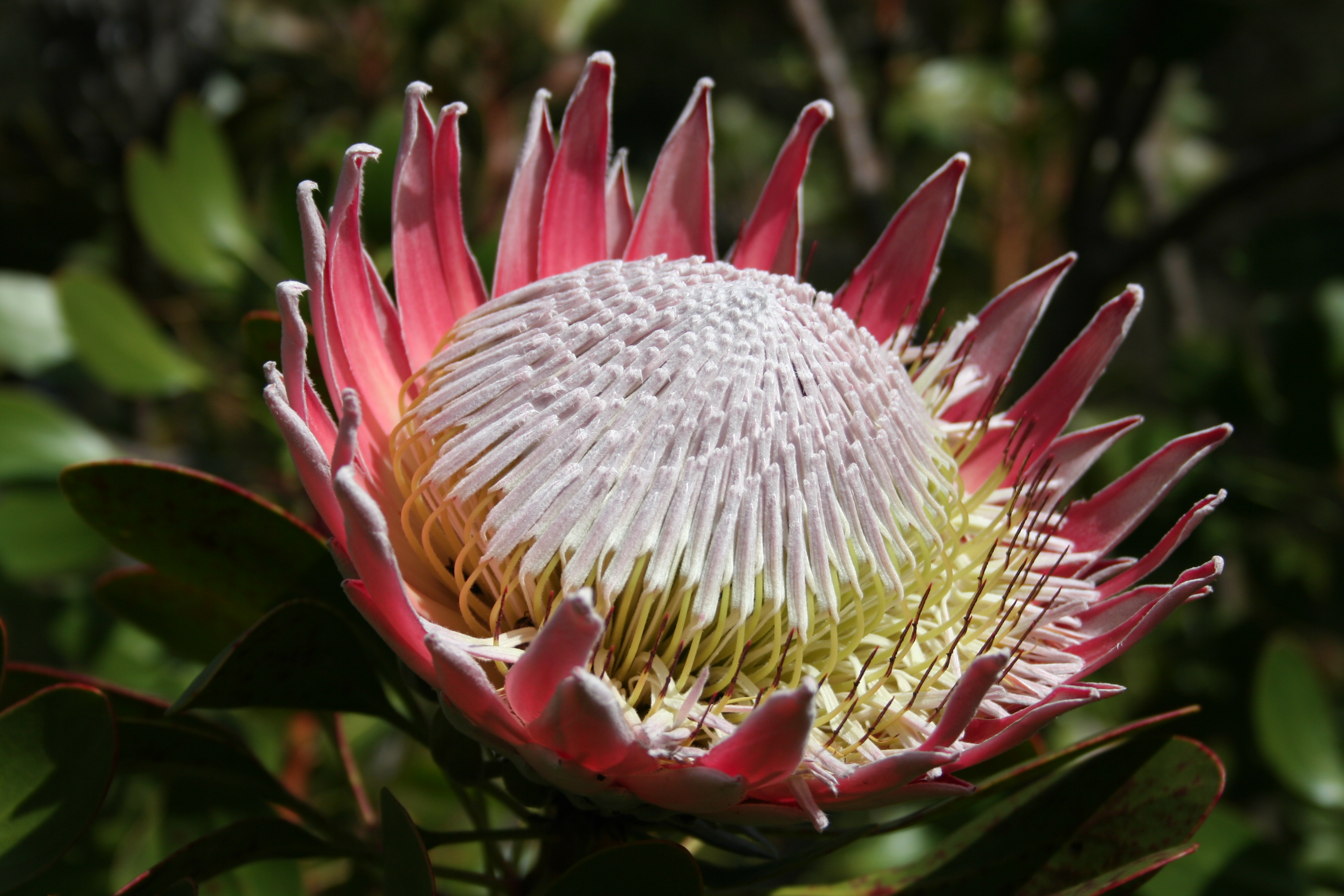 Light Holder File Protea Cynaroides Ms 9113 Jpg Wikimedia Commons