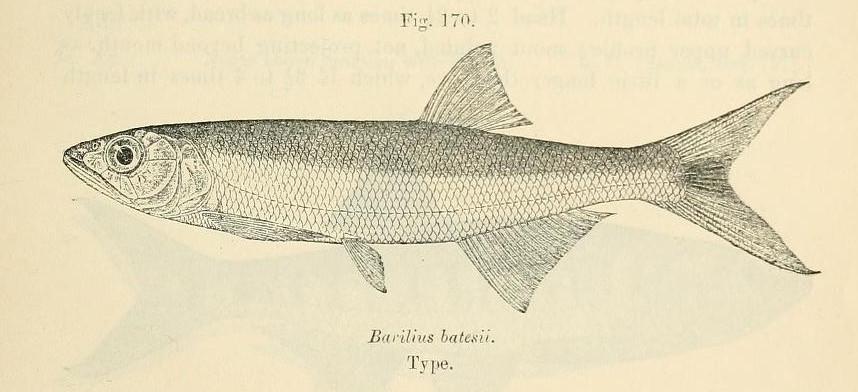 Barilius fishbase search