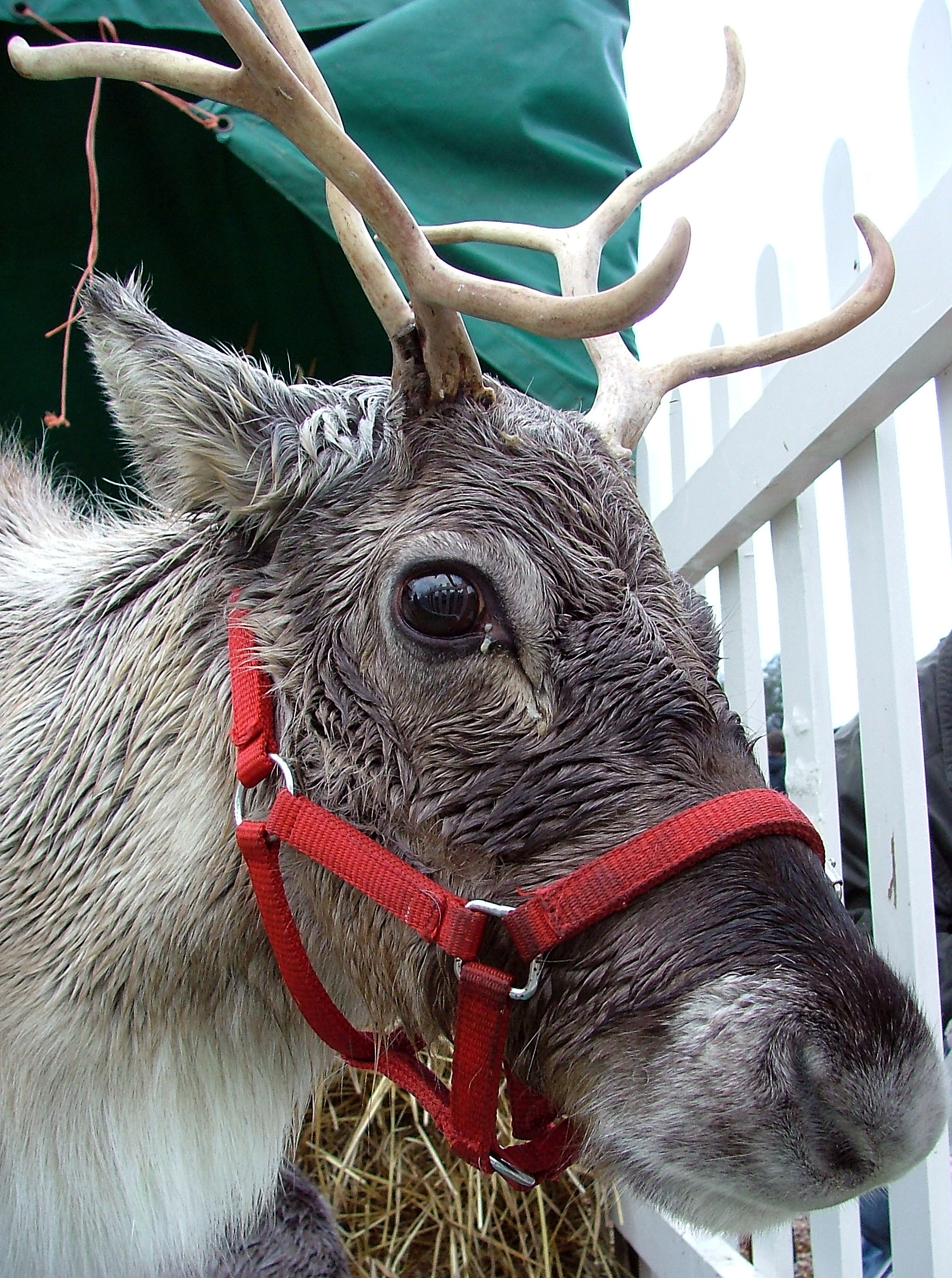 Image Result For Cute Baby Reindeer