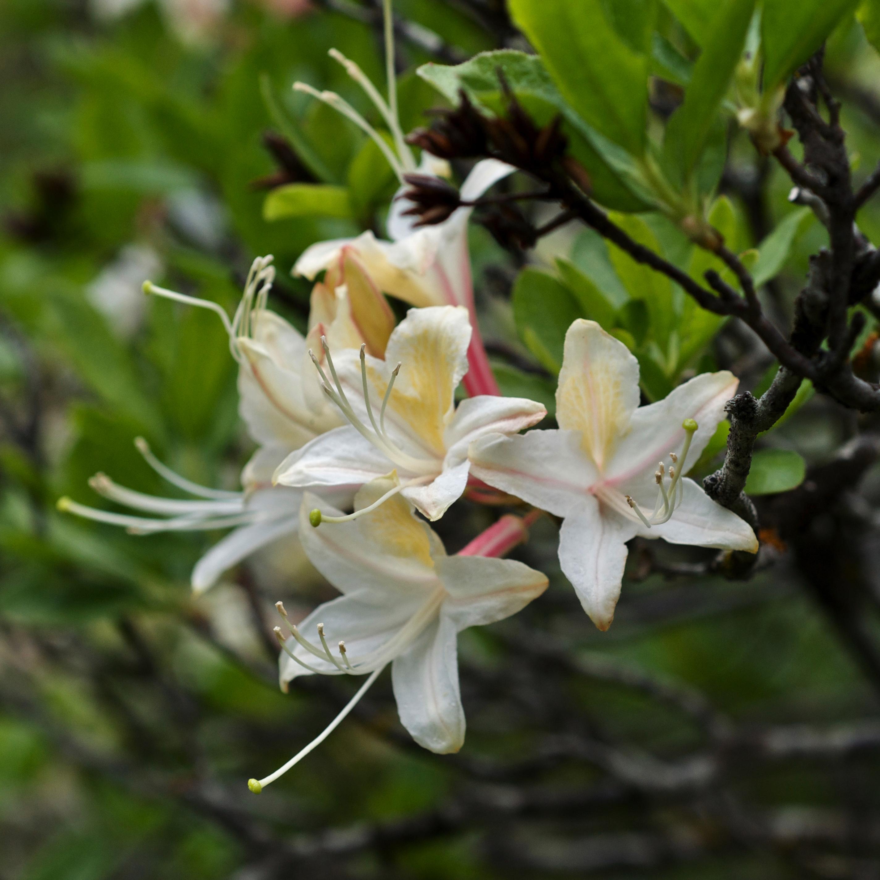 Rhododendron Occidentale Wikipedia