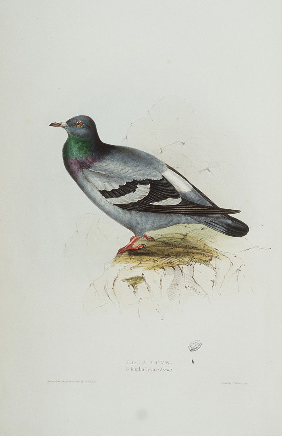 File:Rock Dove.jpg