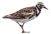 Fichier:Ruddy-turnstone-icon.png