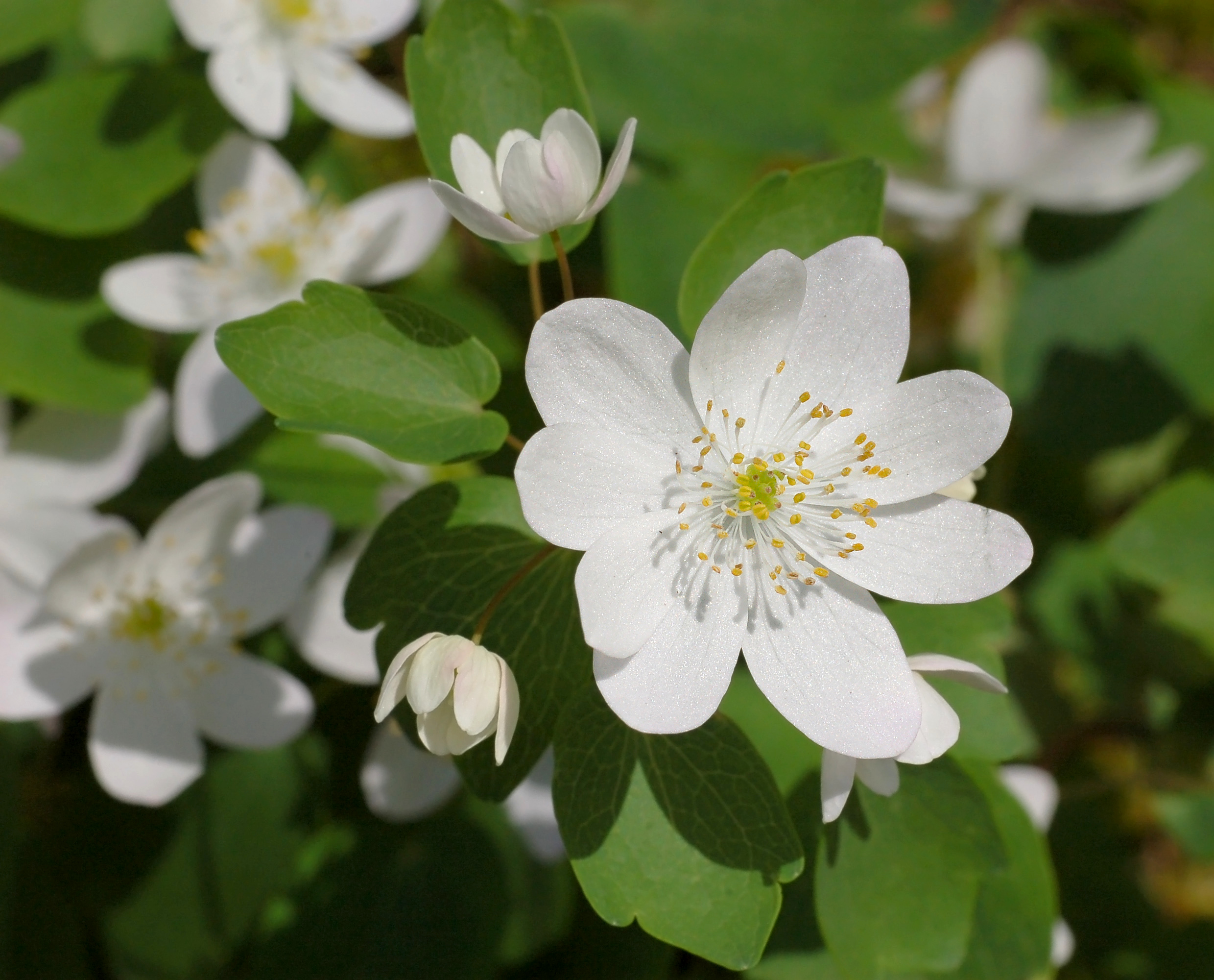 File Rue Anemone Thalictrum thalictroides Flower 2479px