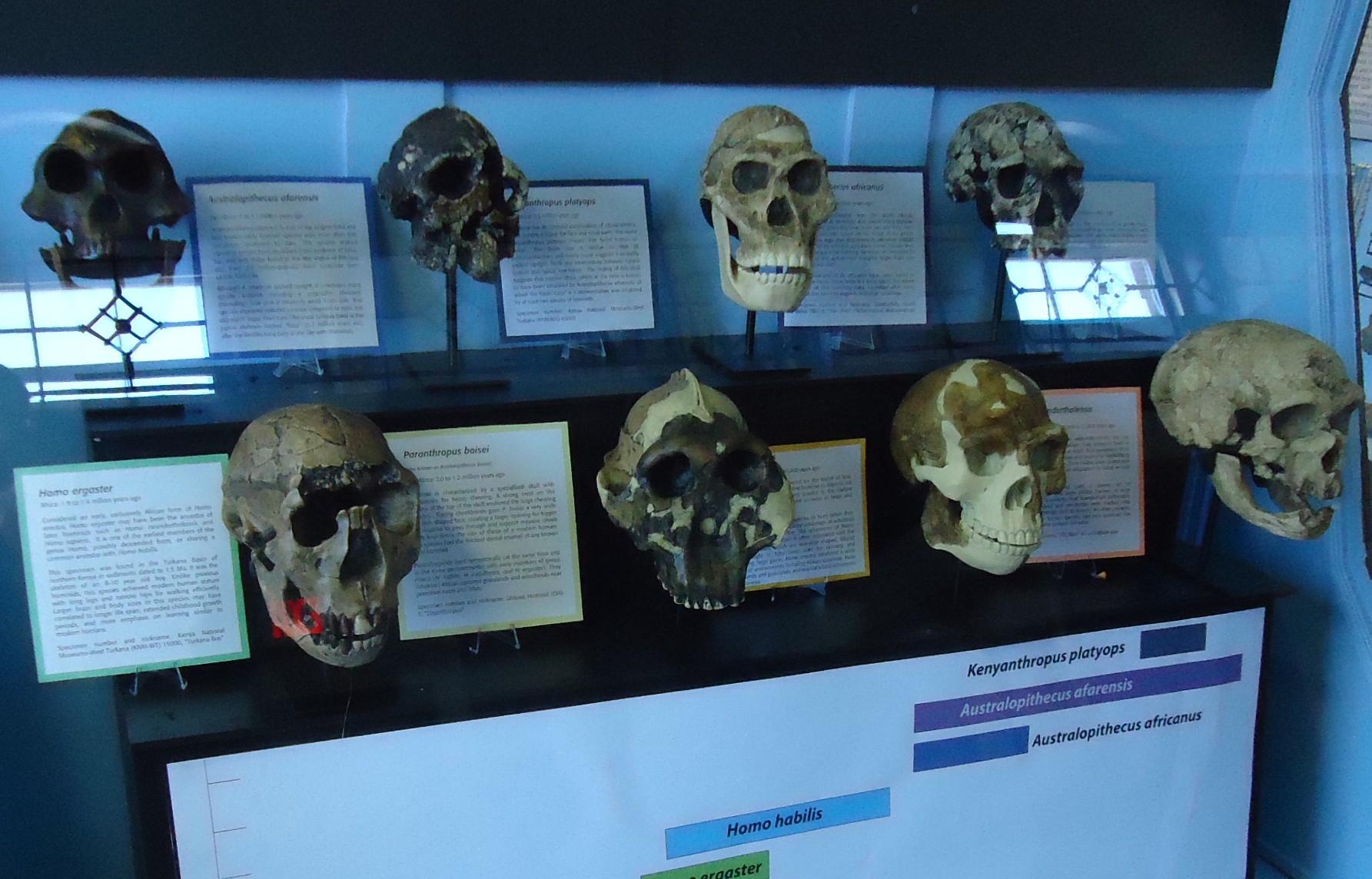 Cabezas de homínidos en el Museo de Geología de la Universidad Rutgers