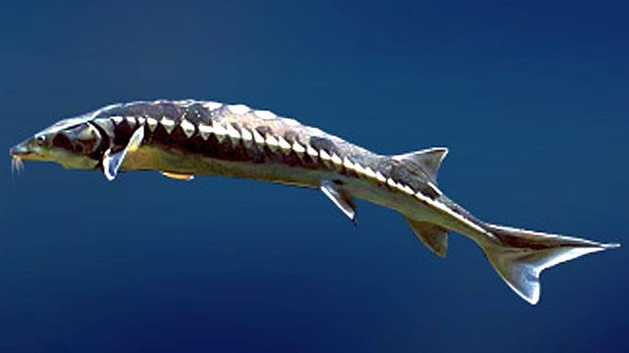 морская осетровая рыба 7 букв