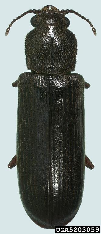 Lyctus Carbonarius Wikipedia