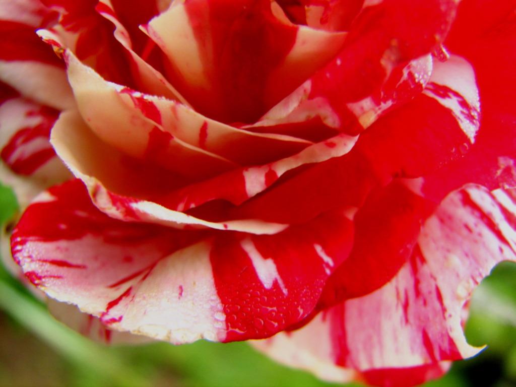Roses Cafe Menu