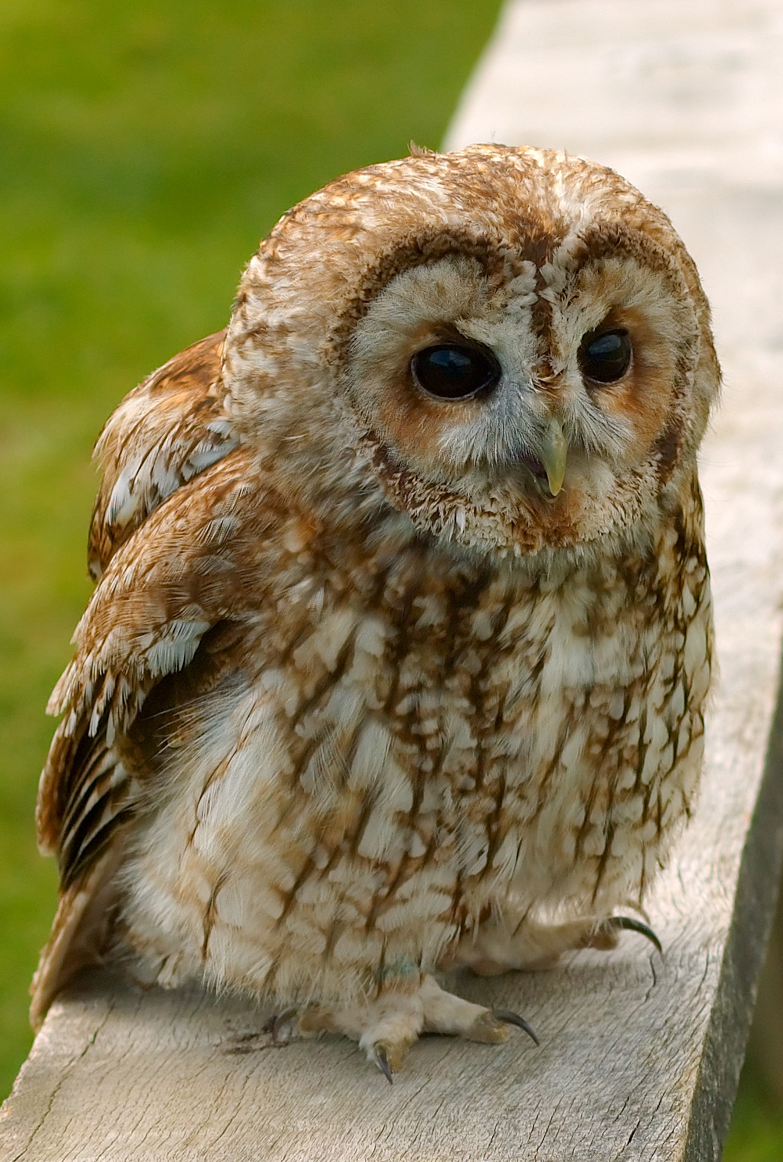 http://upload.wikimedia.org/wikipedia/commons/4/4e/Tawny_wiki.jpg