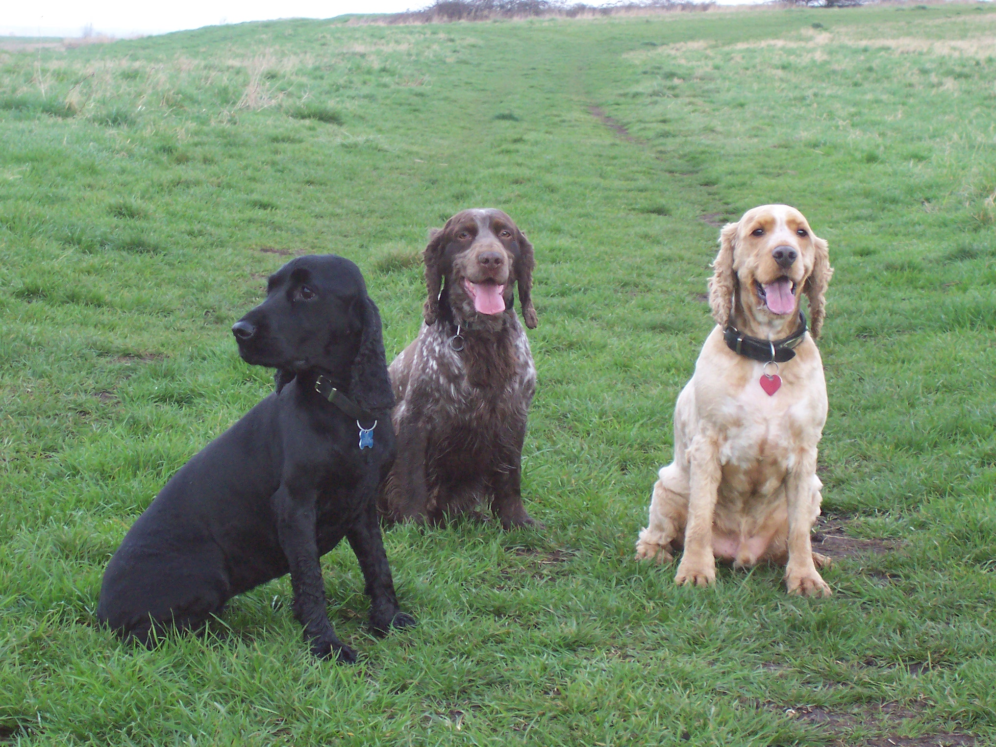 Cocker Spaniel Breed Dogs