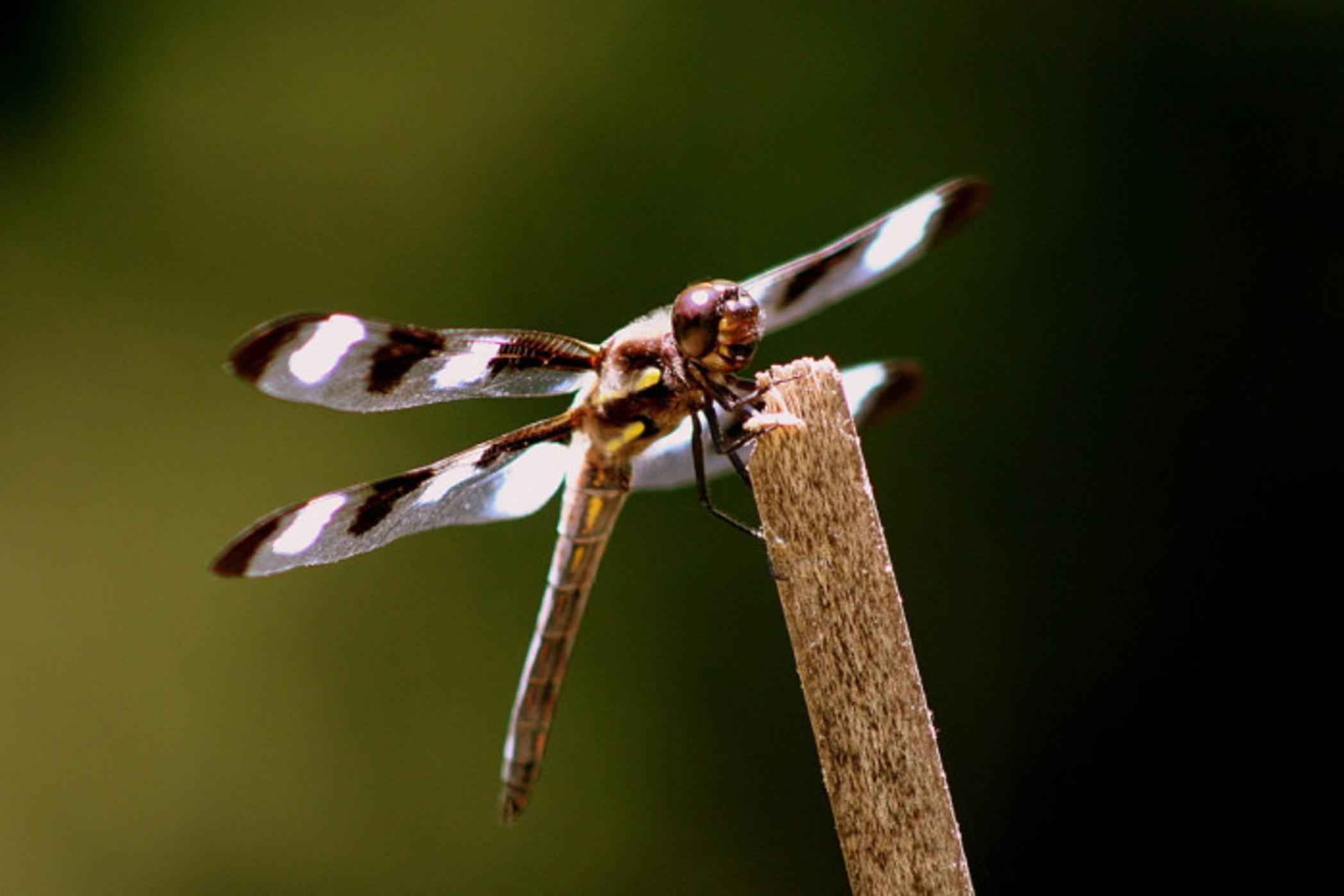 filetwelve spotted skimmer dragonfly insect on a branch