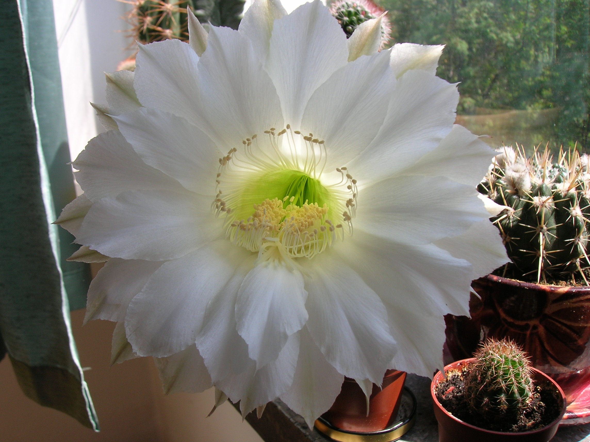 Filewhite Cactus Flower Panoramio Erebusso 16g