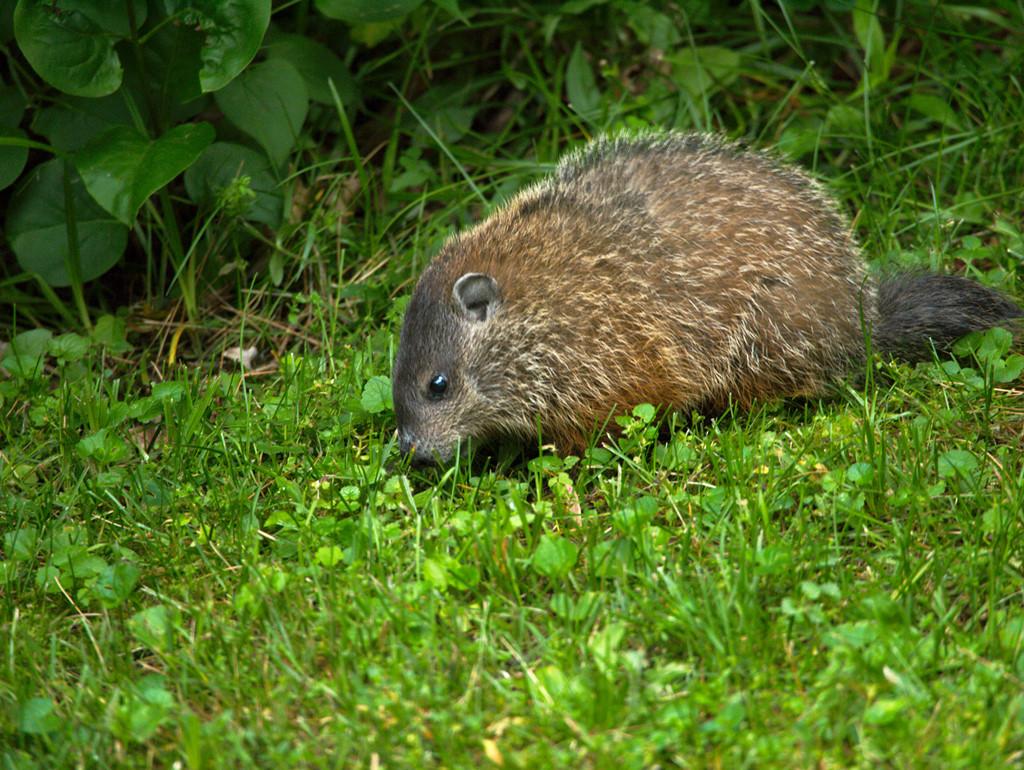 elegant groundhog in backyard architecture nice