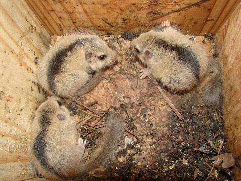 冬眠 ヤマネ ニホンヤマネの生態と生息地は?飼育されている動物園はあるの?