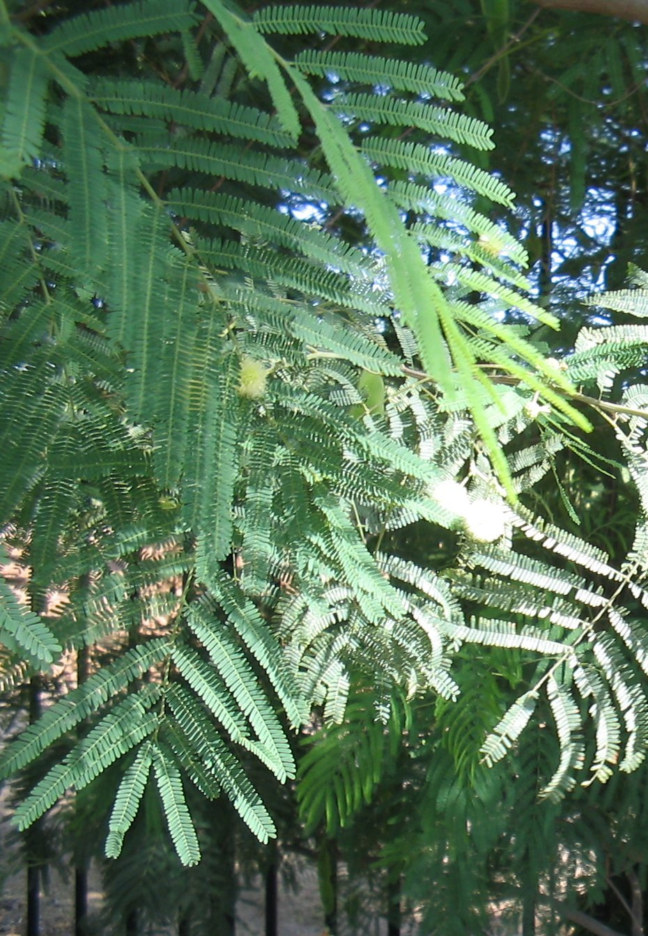 Acacia berlandieri - Wikispecies