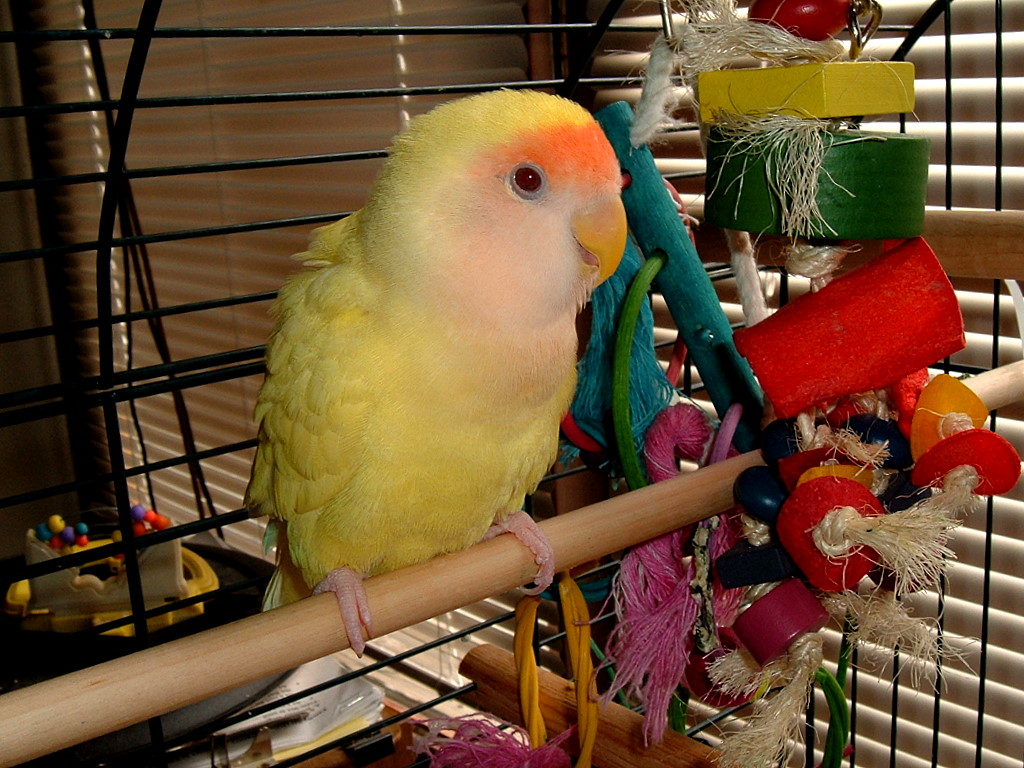Bird Toys For Birds : Lutino rosy faced lovebird mutation wikipedia