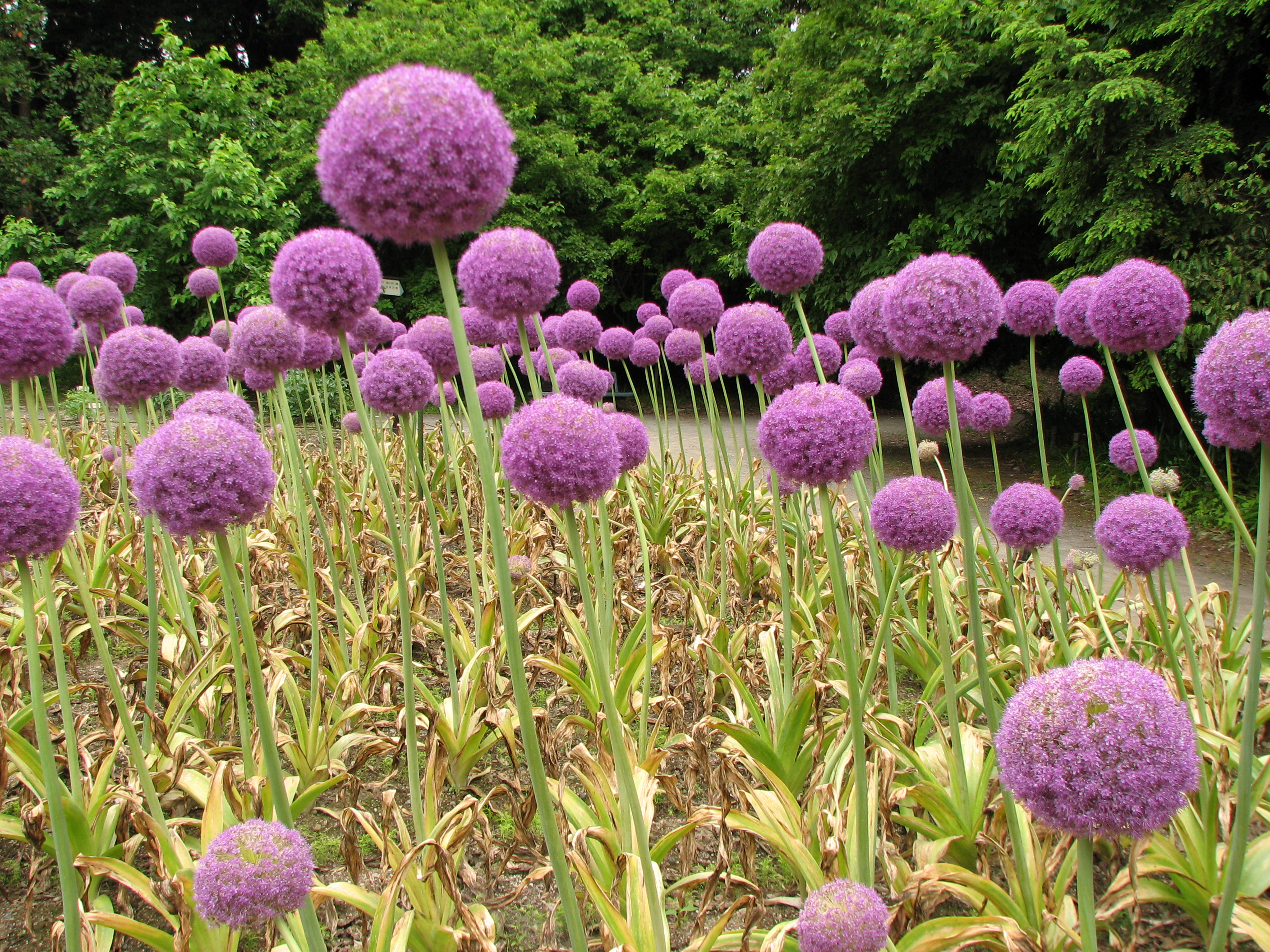 file allium giganteum 4 jpg wikimedia commons. Black Bedroom Furniture Sets. Home Design Ideas