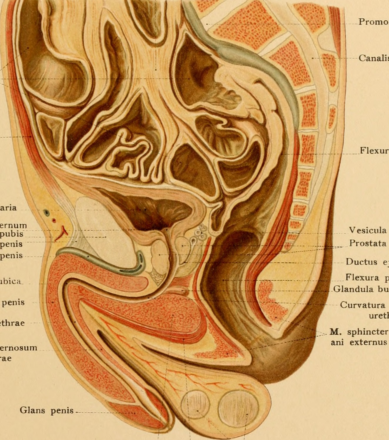File:Atlas and text-book of topographic and applied anatomy (1905 ...