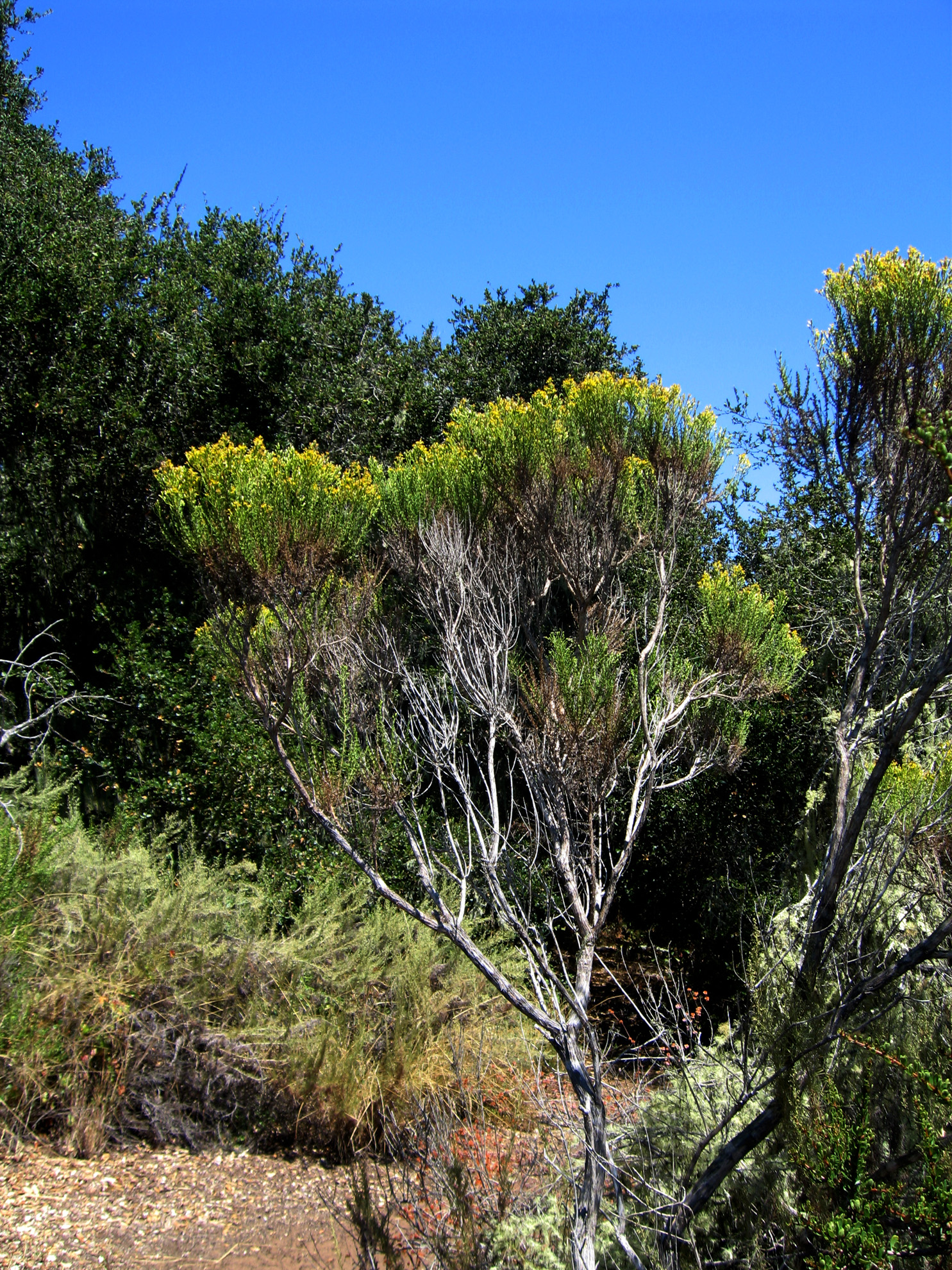 Coyote Brush Chaparral File:Baccharis pilular...