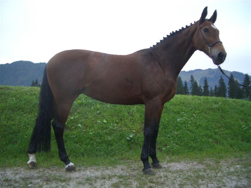 Bavarian Warmblood - Horse Scanner