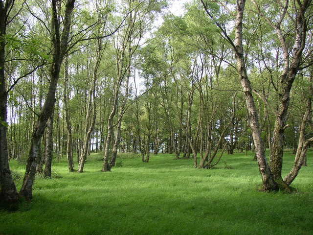 Birches, Chevin Country Park, Otley - geograph.org.uk - 177041