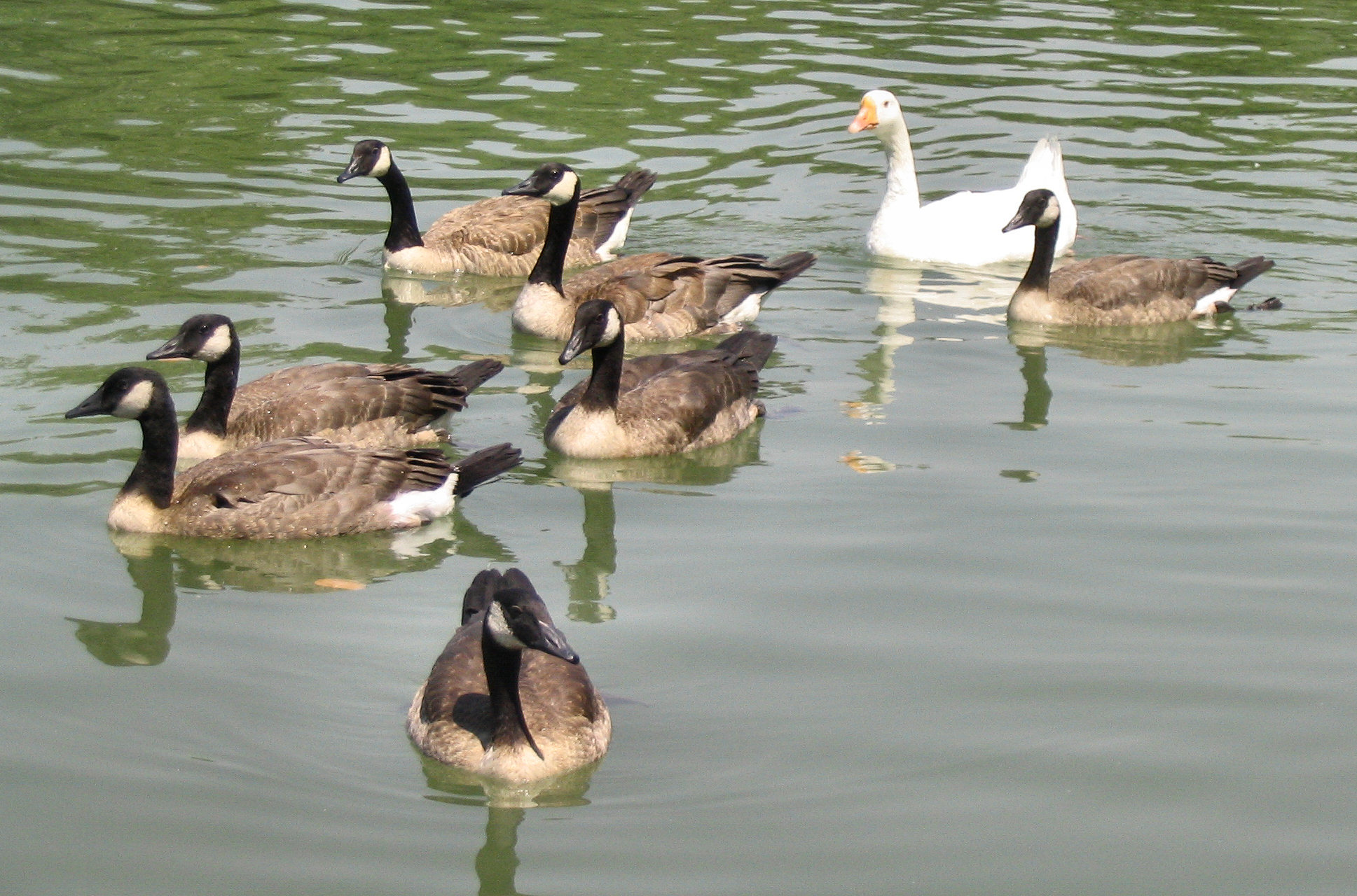 English: A group of Canada geese along with a ...