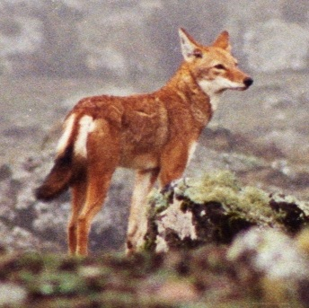 File:Canis simensis Bale Mountains 5.jpg