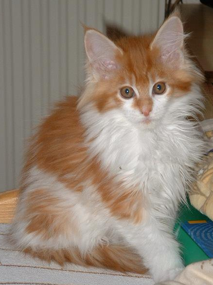 Cats-MaineCoon-Caroline.png