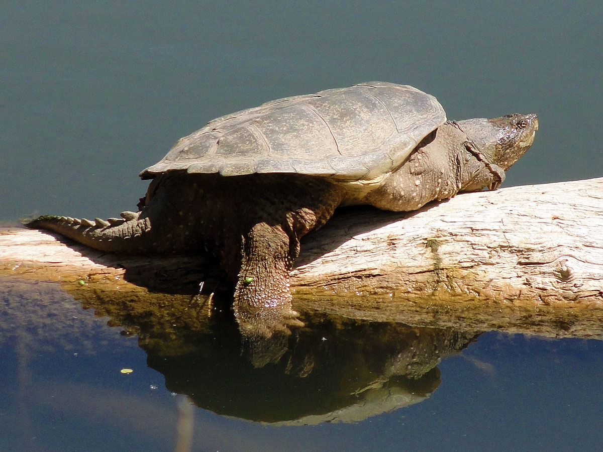 how to find snapping turtles