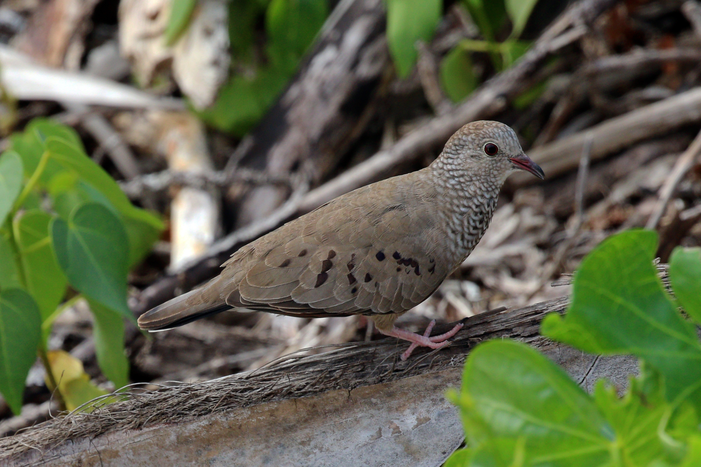 https://upload.wikimedia.org/wikipedia/commons/4/4f/Common_ground_dove_%28Colombina_passerina%29_female.JPG