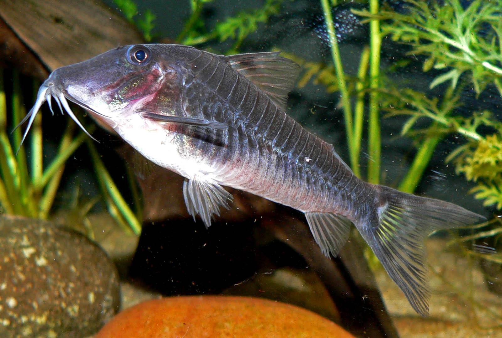 file corydoras semiaquilus wikipedia ForCory Cat Fish