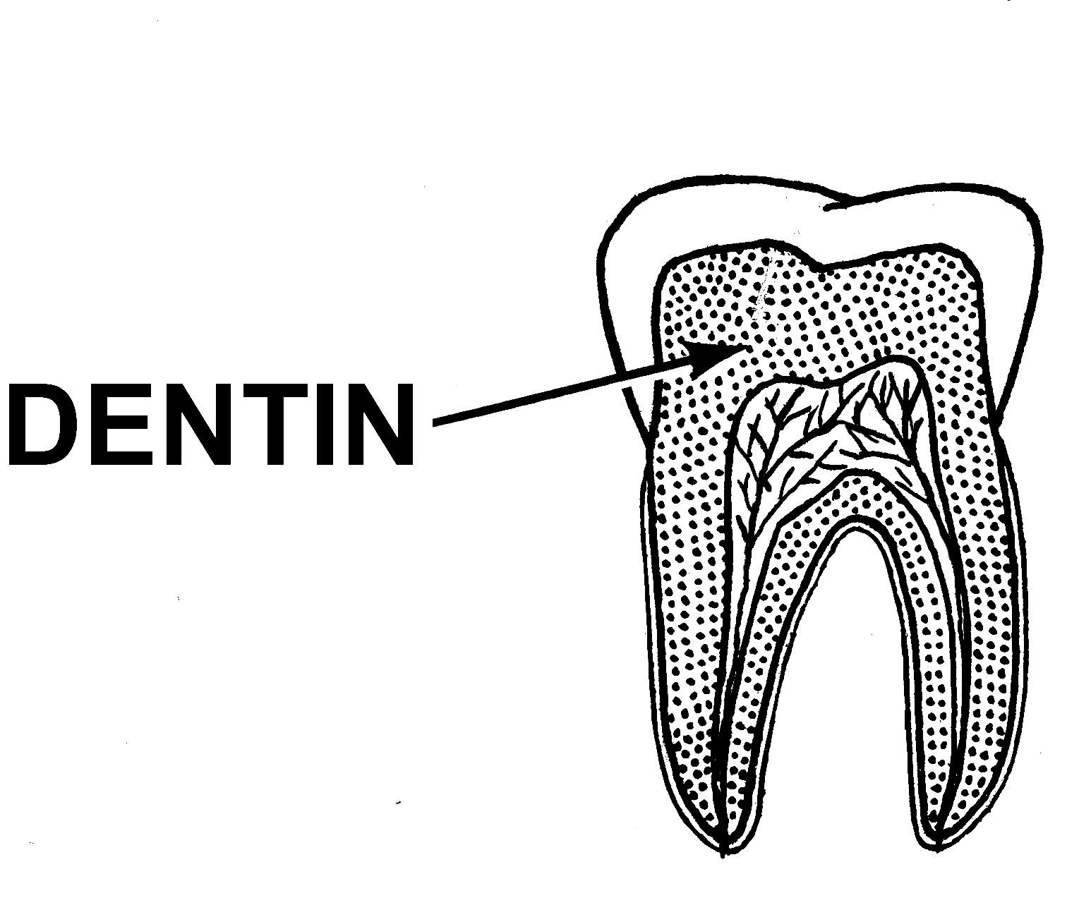 Dentin Simple English Wikipedia The Free Encyclopedia
