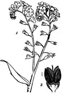 EB1911 Boraginaceae Fig. 2 Inflorescence of Forget-me-not.jpg
